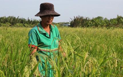 Thương lái đến miền Tây thu mua bông lúa non, gốc rạ