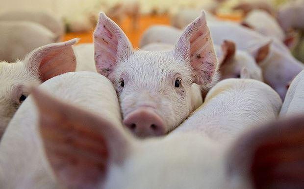 Kết quả hình ảnh cho Sớm chấm dứt lây lan dịch tả lợn Châu Phi
