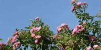 Sa Pa rợp sắc hoa hồng tháng Tư