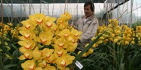 Đua theo vụ Tết, người trồng hoa Đà Lạt lỗ nặng