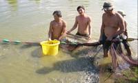 """Đồng bằng sông Cửu Long: """"Đột phá"""" khâu cá giống để cá tra phát triển bền vững"""
