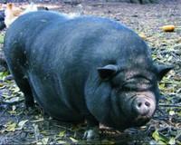 Lễ hội thi lợn độc đáo dâng Thánh ngày xuân ở miền Kinh Bắc