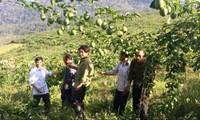 """Chanh leo- """"cây thoát nghèo"""" ở miền Tây xứ Nghệ"""
