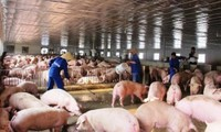 Nguy cơ dịch tả lợn châu Phi xâm nhiễm vào Việt Nam
