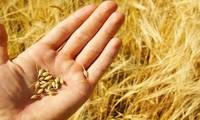 Doanh nghiệp ham rẻ 'nhắm mắt' nhập lúa mì nhiễm cỏ kế đồng