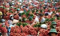 Kêu gọi doanh nghiệp Trung Quốc ký hợp đồng chính thức mua vải Bắc Giang
