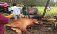 Sét đánh bò chết la liệt