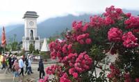 Triệu đóa hồng bung lụa dưới chân núi Fansipan