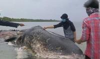 Xác cá voi chứa hơn 1.000 mảnh rác thải nhựa