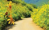 Hoa dã quỳ vàng rực cao nguyên Đà Lạt