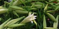Hà Nội đẹp tinh khôi trong mùa hoa loa kèn