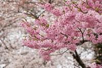 Quốc hoa Nhật Bản khoe sắc thắm tại Thành phố Hoa Phượng đỏ
