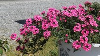 Sapa: Hoa vươn sườn núi