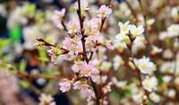 Tưng bừng khai mạc Lễ hội hoa anh đào 2016