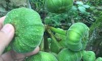 TĐ Fig - sản phẩm hỗ trợ trị tiểu đường từ trái vả