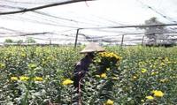 Nghịch lý: Hoa 'được giá' người Tây Tựu vẫn buồn