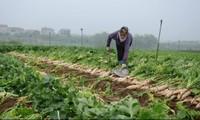 Vì sao nông dân phải nhổ bỏ rau, củ?