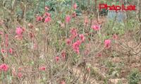 Bản tin tiêu dùng: Đào Nhật Tân nở sớm, người trồng lo lắng