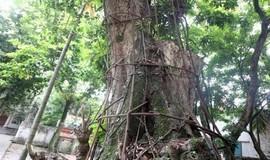 Hà Nội đồng ý bán đấu giá cây sưa đỏ trăm tỷ  