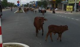 """Hà Tĩnh: Cả đàn bò thường xuyên """"nghêng ngang"""" trên quốc lộ 1A"""