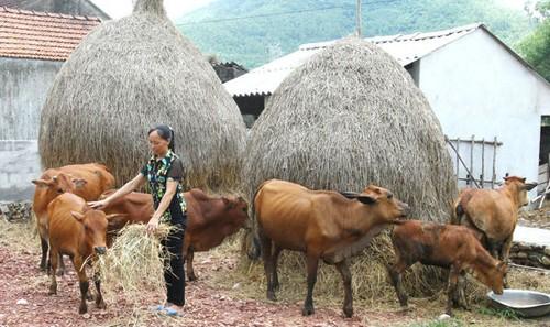 Chị Hoàng Thị Hường vay vốn chính sách mua bò về nuôi