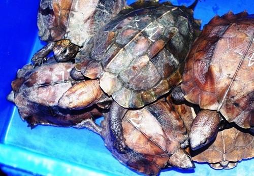 Các chuyên gia nhận định không thể gây nuôi thương mại rùa đầu to. (Nguồn ảnh: ATP-IMC/Vietnamplus)