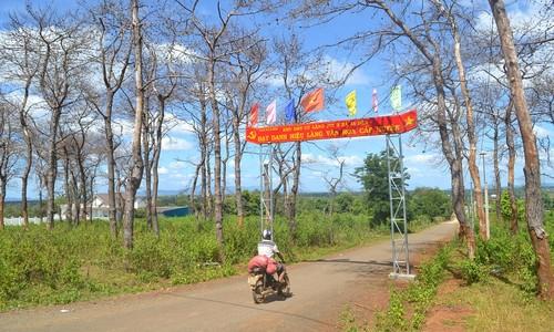 Rừng thông đang bị chết khô tại làng Jút 2, xã Ia Dêr, huyện Ia Grai, tỉnh Gia Lai