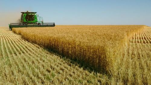 Từ đầu năm đến nay, Việt Nam đã nhập hơn 1 triệu tấn lúa mì có nhiễm có kế đồng