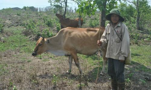 Anh Bình hy vọng đời con mình sẽ không gắn với nghiệp chăn bò.