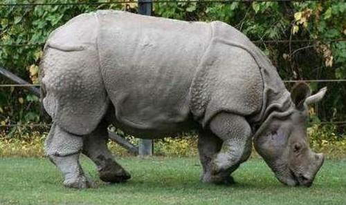 Con tê giác Java cuối cùng của Việt Nam bị tiệt chủng ( nguồn Internet).