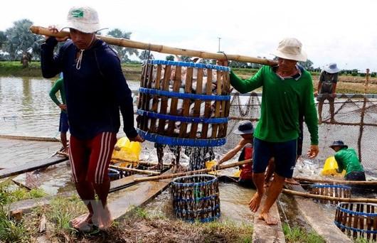 Vượt rào cản thương mại, cá tra Việt Nam vẫn 'bơi' ra thế giới