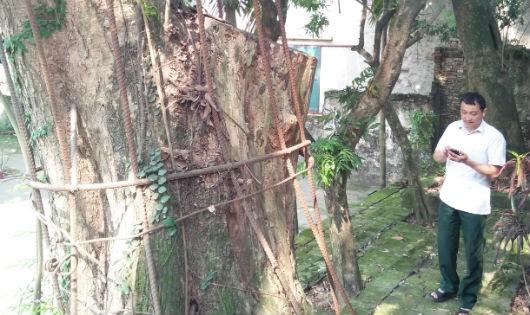 Tại sao cây sưa trăm tỷ ở Hà Nội chưa bán nổi?