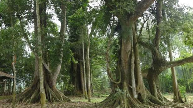 """Huyền tích về pho tượng """"biết đẻ"""" và 5 cây đa thần ở xứ Mường"""