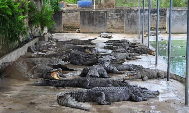 Nhiều lần phải 'giải cứu',  người dân vẫn ồ ạt nuôi cá sấu