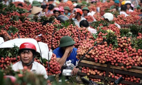 Hàng nghìn thương nhân đổ bộ về Bắc Giang thu mua vải thiều