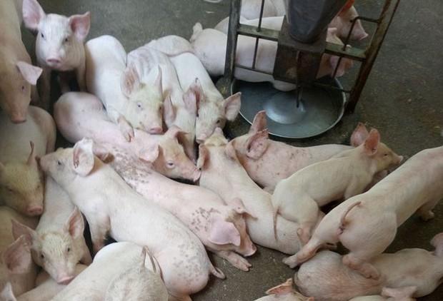 Ngành chăn nuôi: Cần có thống kê chặt chẽ