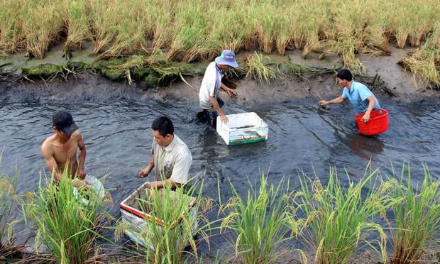 Nông dân Cà Mau trúng đậm mùa tôm càng xanh trái vụ
