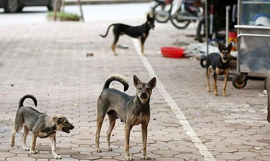 Nghệ An: Sẽ thành lập đội bắt chó thả rông, diệt chó nghi mắc bệnh dại