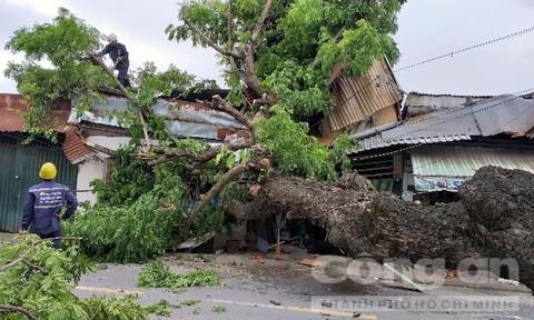 Cây 'khủng' bất ngờ đổ, đè hai ngôi nhà đông người ở TP HCM