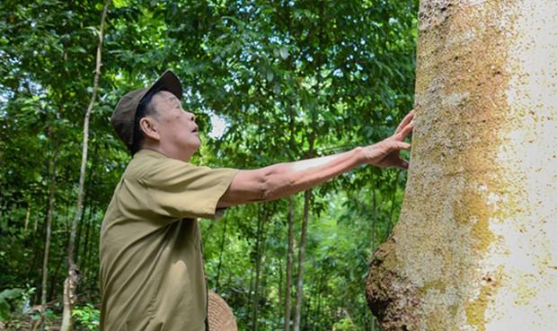 Ông lão người Dao sở hữu  rừng lim gần chục tỷ đồng