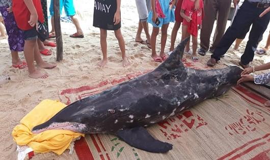 Cá heo nặng 150kg dạt vào bờ biển TT- Huế