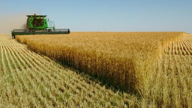 """Nhập lúa mì nhiễm cỏ kế đồng: Bài học """"con ốc bươu vàng"""" chưa đủ sợ hay sao?"""