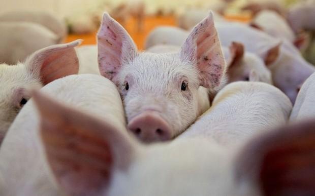 Tổng cục Hải quan hoả tốc chỉ đạo ngăn chặn bệnh Dịch tả lợn Châu Phi