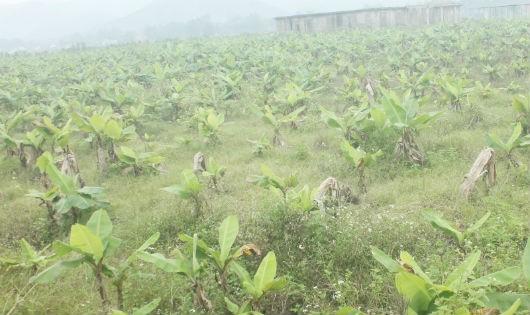 """Dự án trồng chuối triệu USD """"chết yểu"""" vì... khí hậu!"""