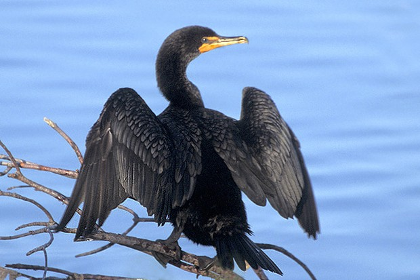 Hấp dẫn du lịch đánh cá bằng... chim cốc