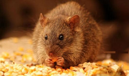 Muốn nhà không bao giờ có chuột hãy làm theo cách này