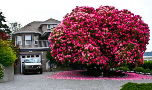 Картинки по запросу рододендрон дерево