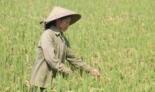 Hà Tĩnh: Đề nghị hỗ trợ khắc phục thiệt hại lúa do bị đạo ôn gây hại