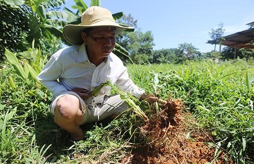 10 sào nghệ của ông Trương Văn Tâm không có người mua nằm trong đất nay lại tái sinh phát triển. Ảnh: Đắc Thành.