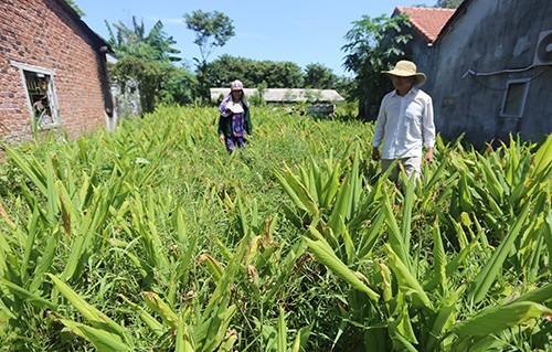 Những vườn nghệ của người dân xã Tam Lộc trồng đến kỳ thu hoạch chờ thương lái đến mua. Ảnh: Đắc Thành.